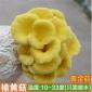 榆�S菇食用菌包 �N植食用菌菇